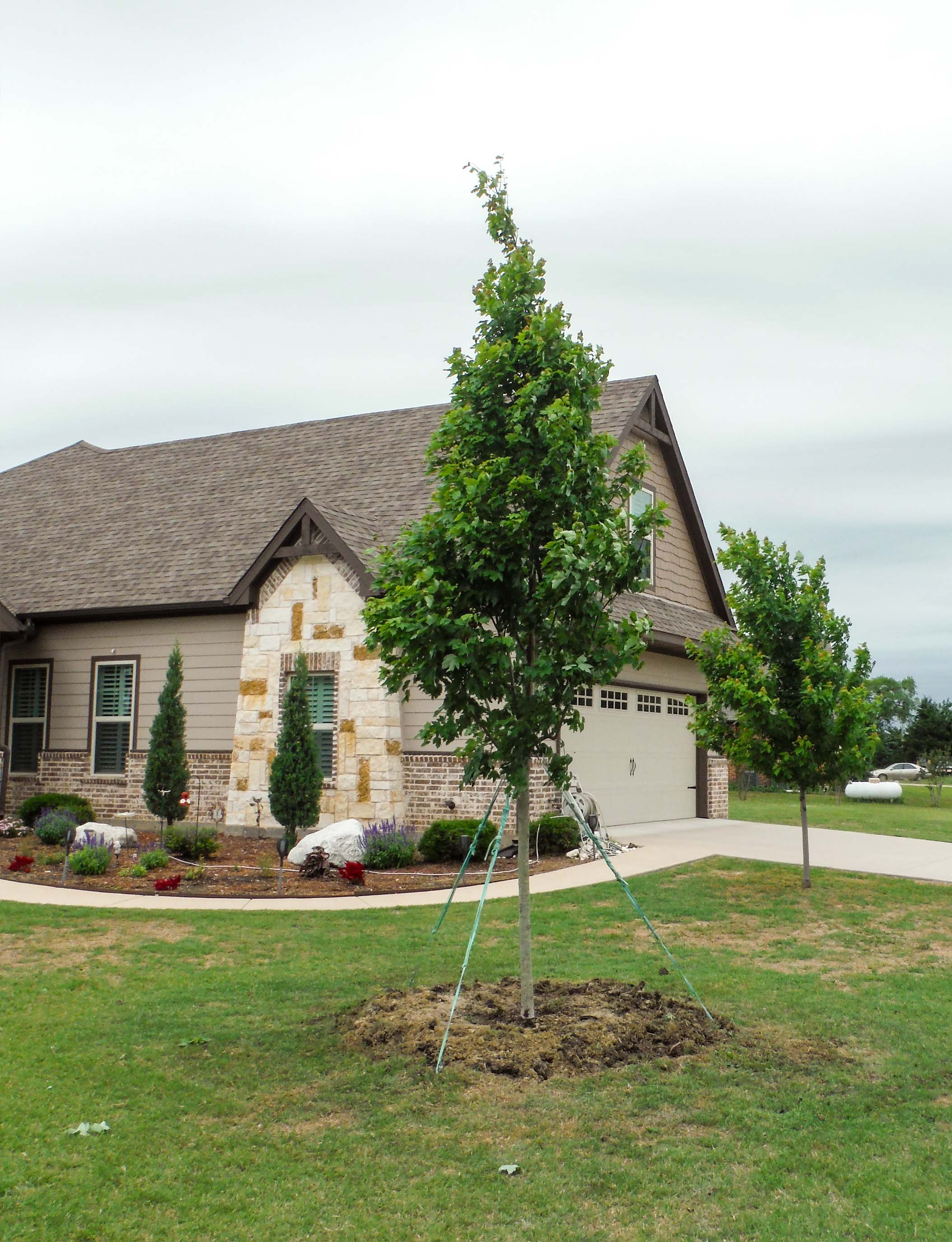 Brandywine Maple tree installed in a frontyard by Treeland Nursery.