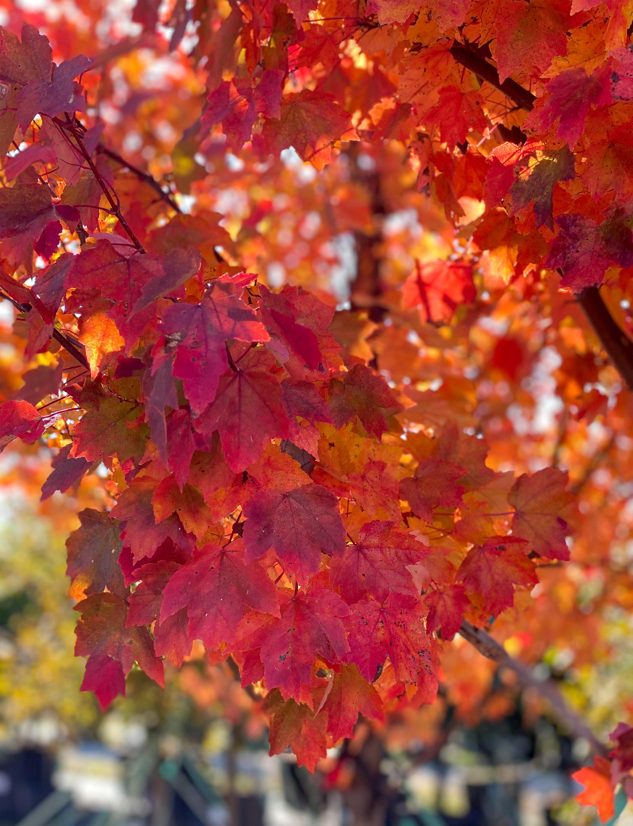 Brandywine Maple leaves photographed during the Fall by Treeland Nursery.