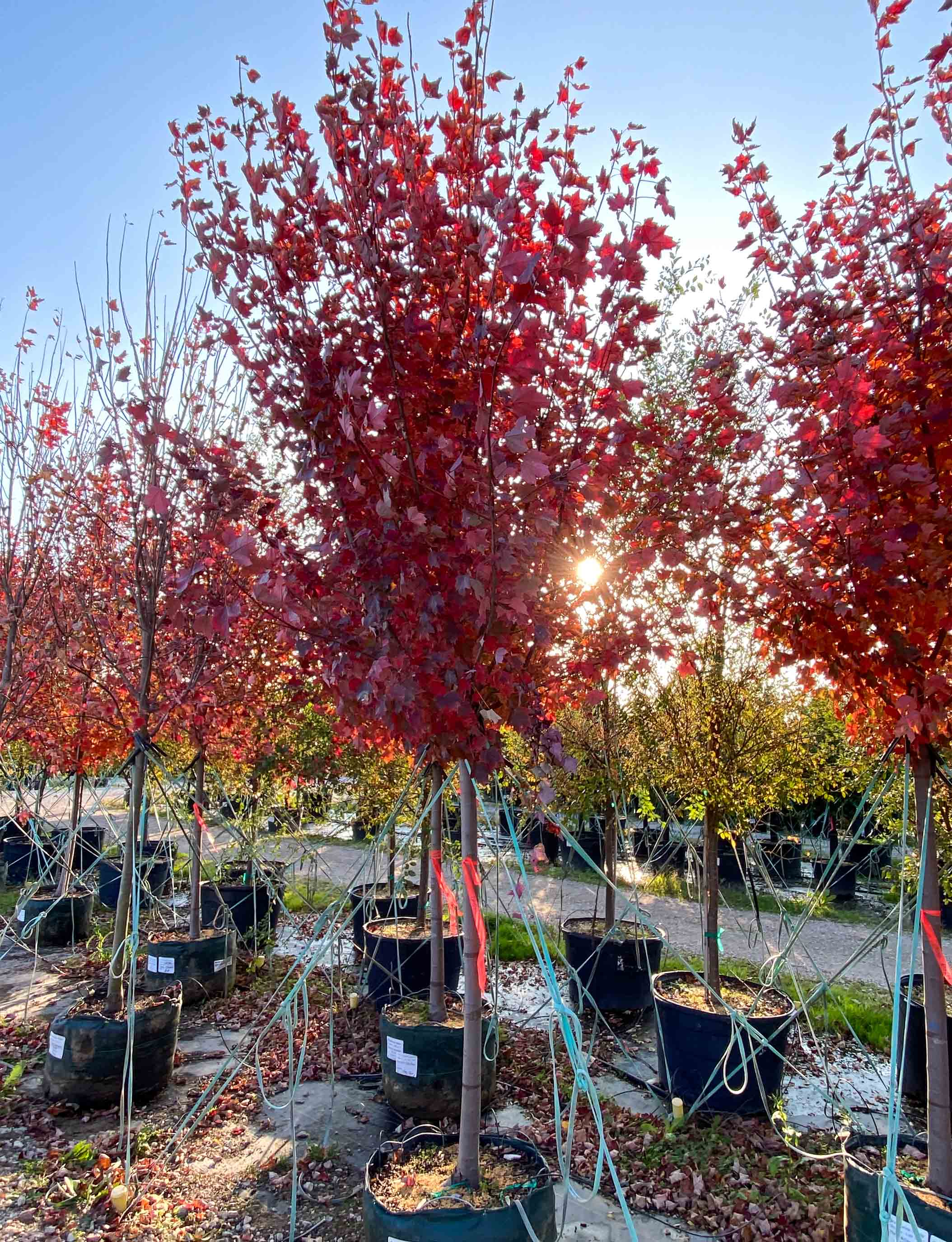 Brandywine Maple tree photographed in the Fall at Treeland Nursery.