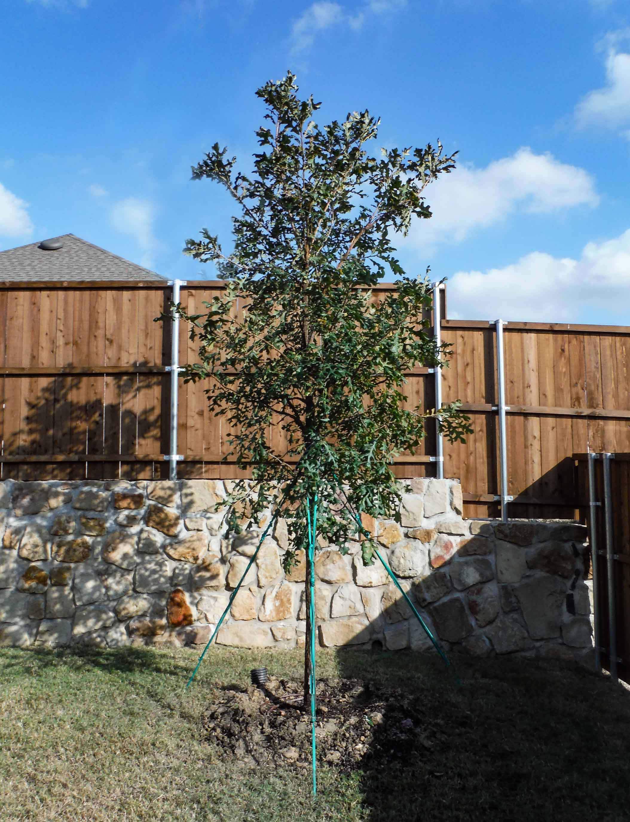 Bur Oak tree installed in a backyard by Treeland Nursery.