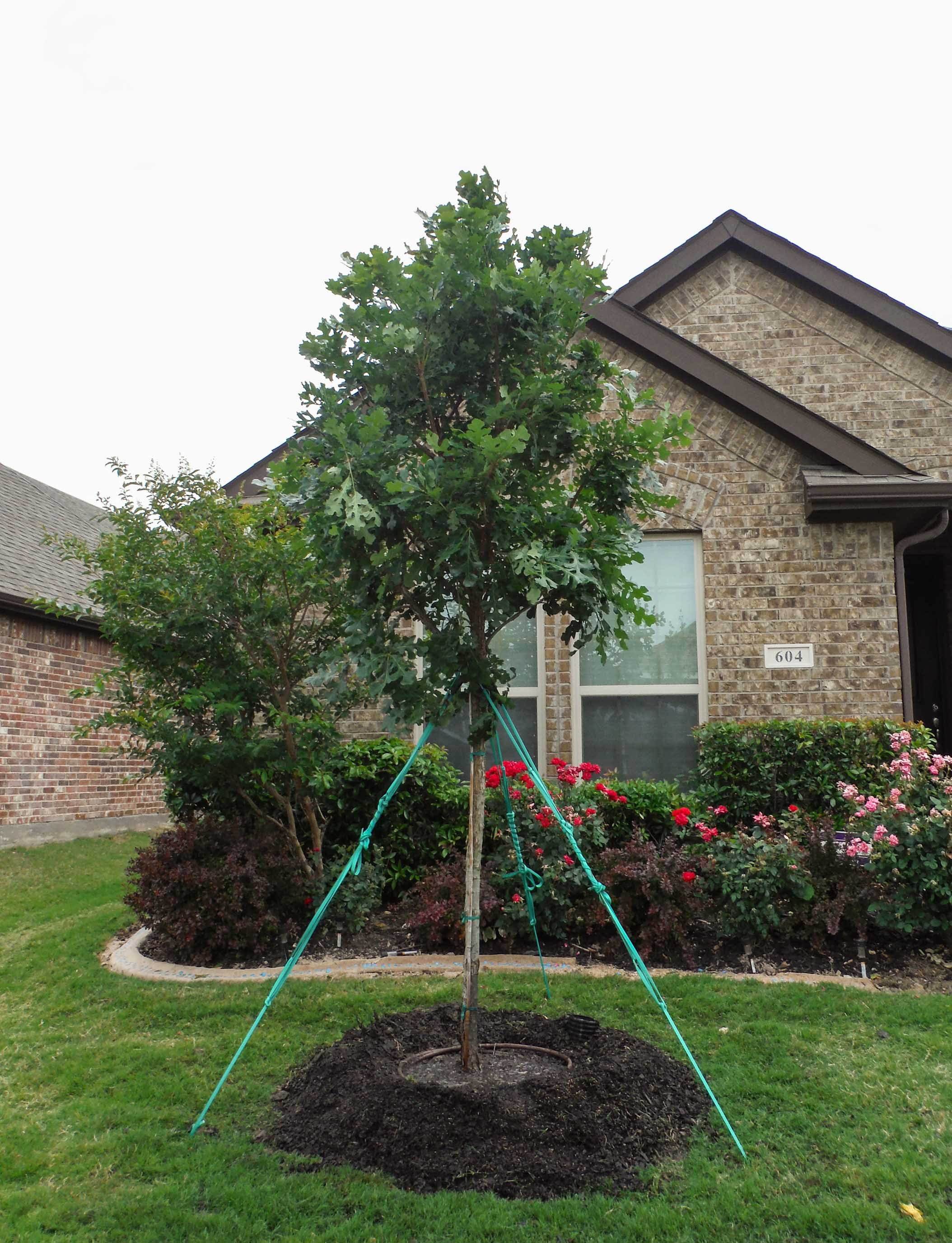 Bur Oak tree installed in a frontyard by Treeland Nursery.
