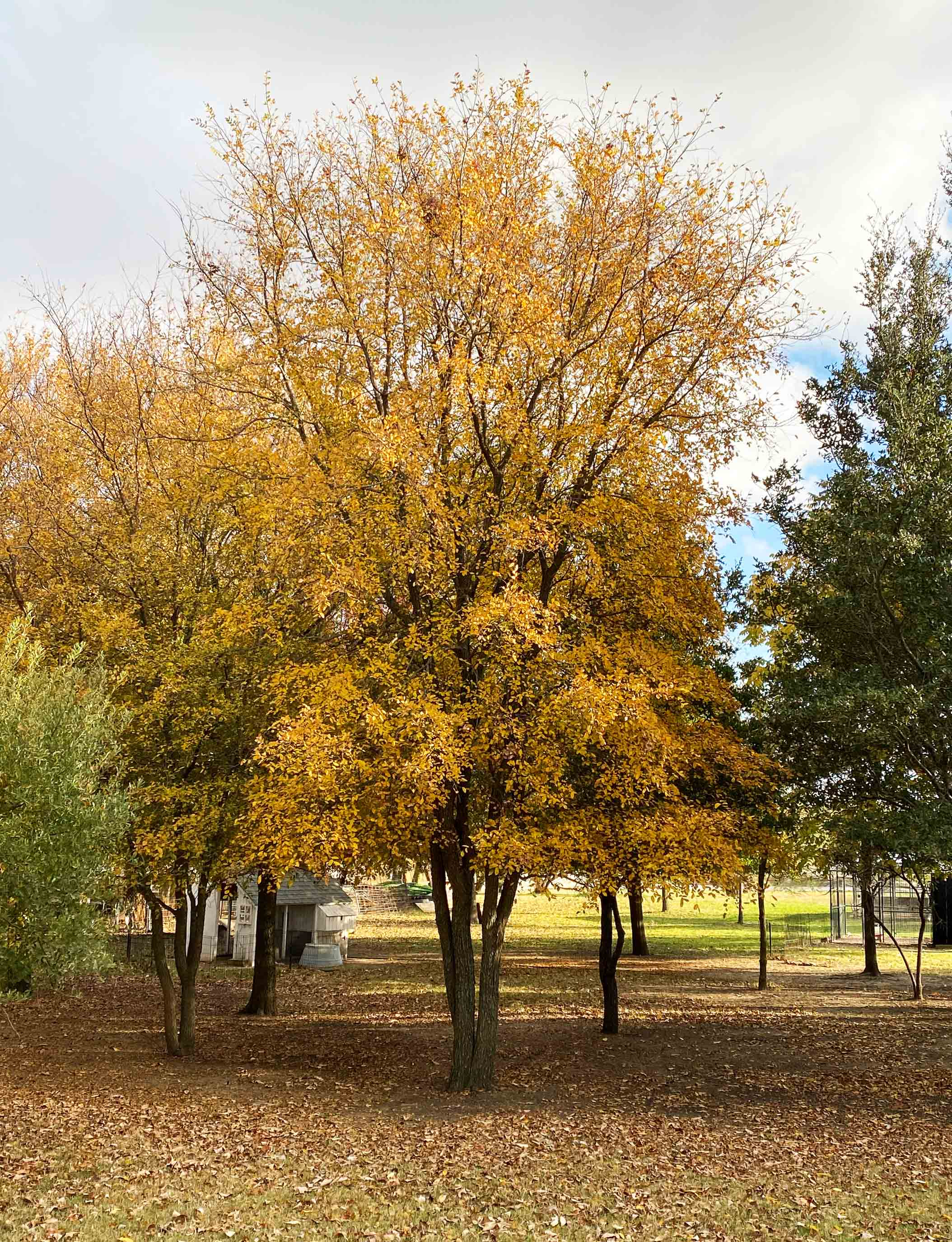 Mature Cedar Elm photographed during the Fall at Treeland Nursery.