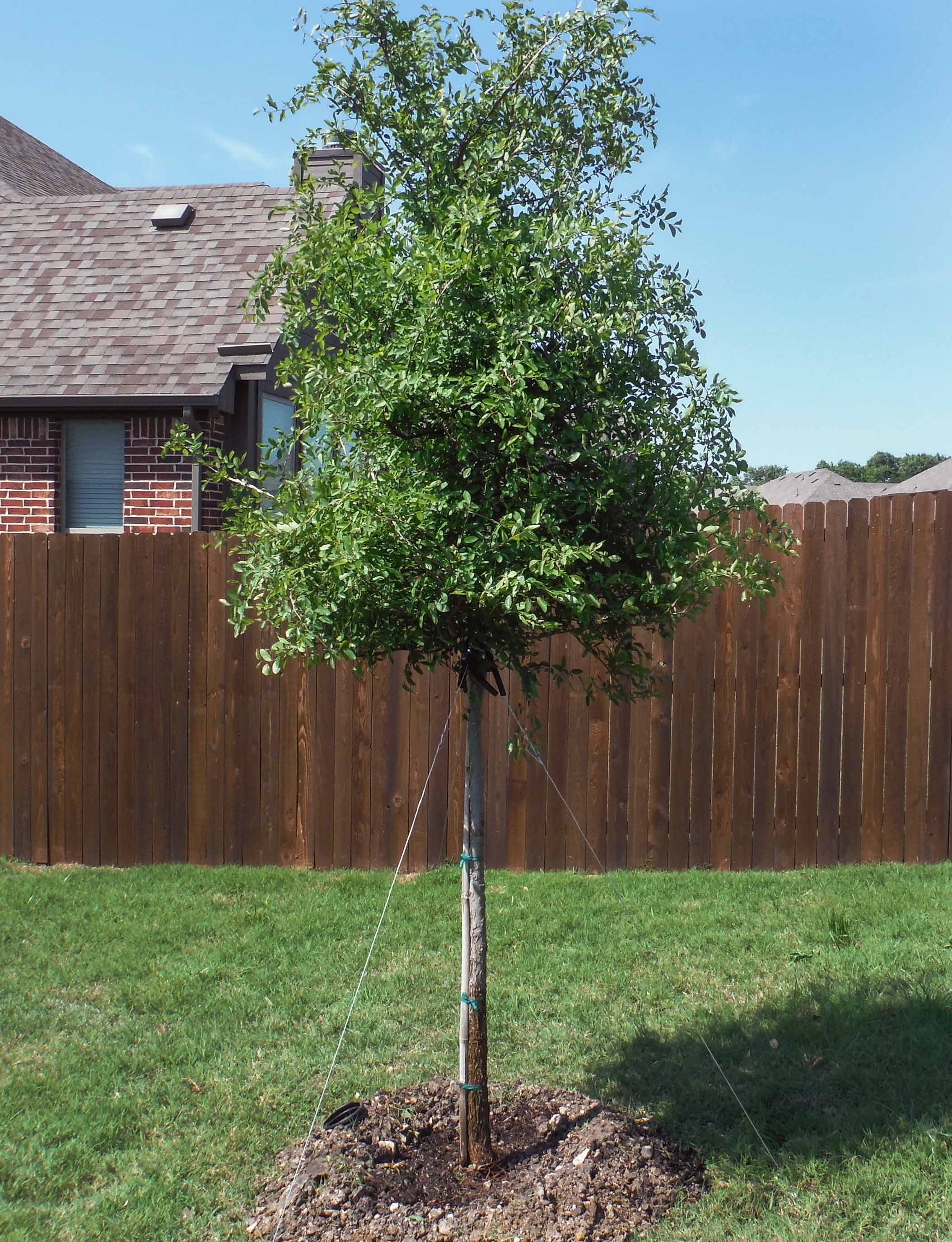 Cedar Elm tree installed by Treeland Nursery.