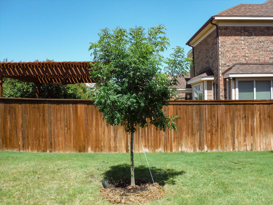 Chinese Pistachio tree installed in a backyard by Treeland Nursery.
