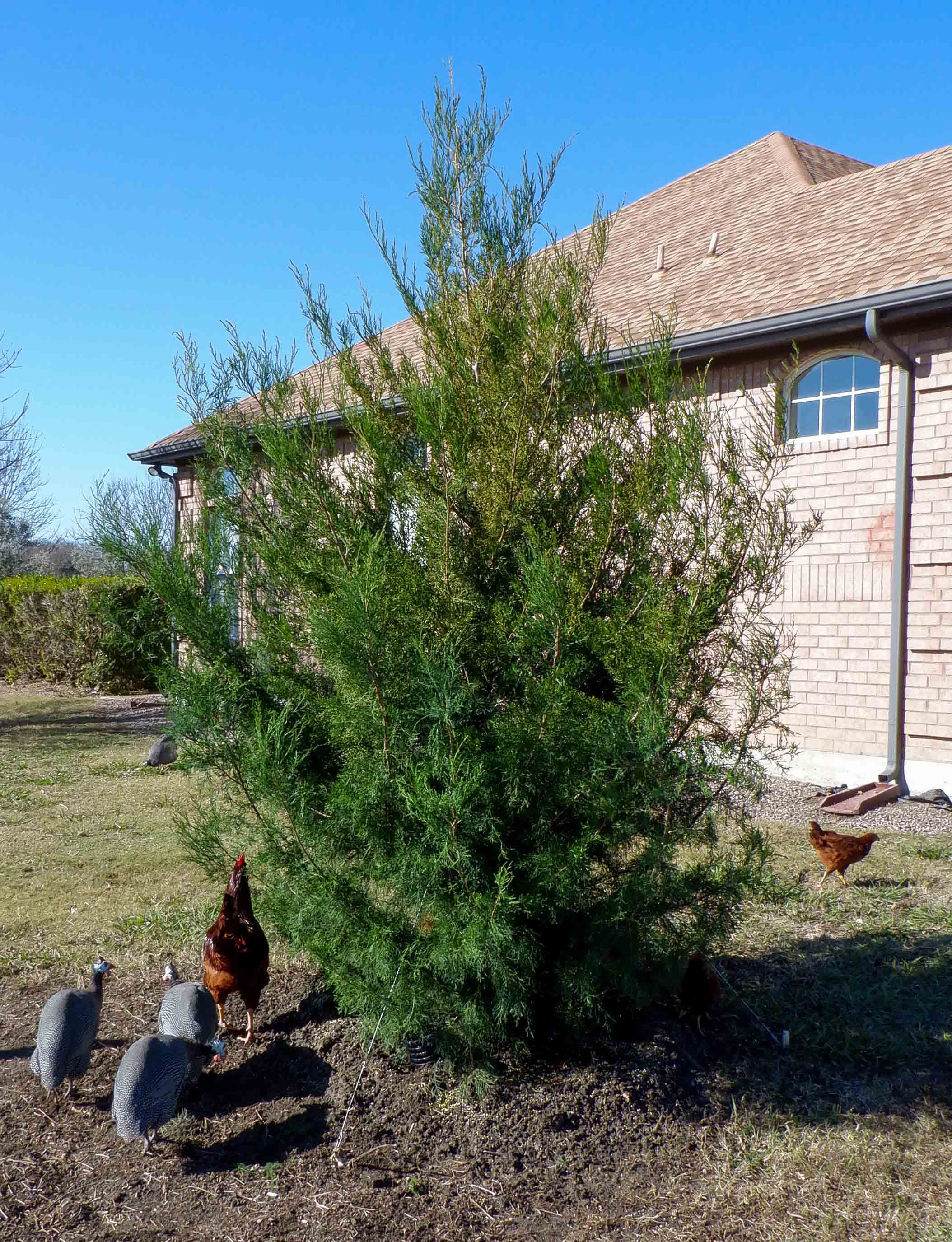 Eastern Red Cedar installed by Treeland Nursery.