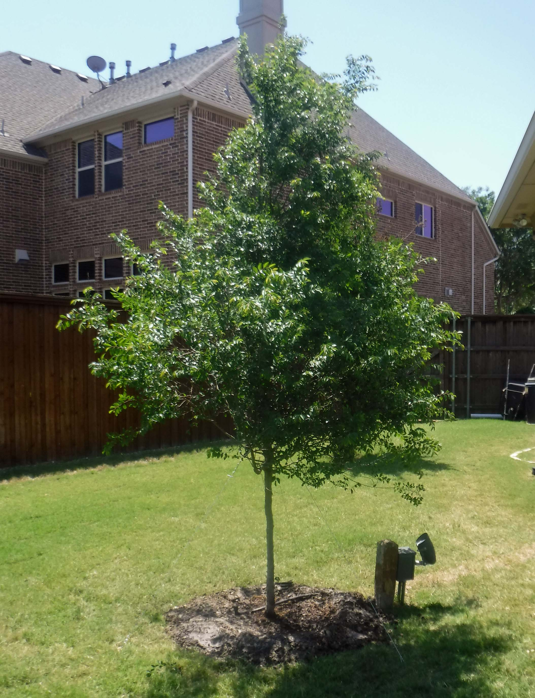 Lacebark Elm tree installed by Treeland Nursery.