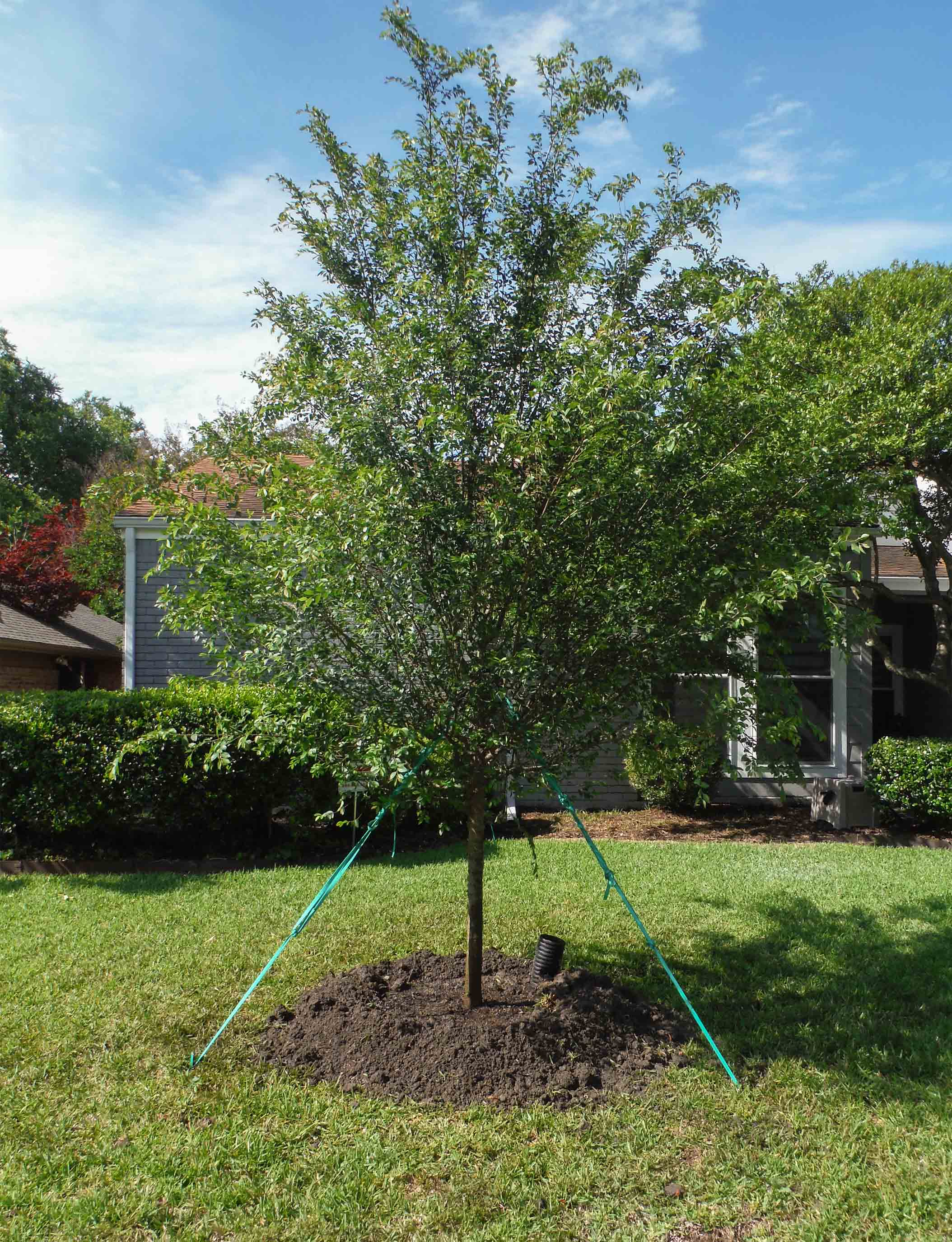 Lacebark Elm tree installed in North Texas by Treeland Nursery.