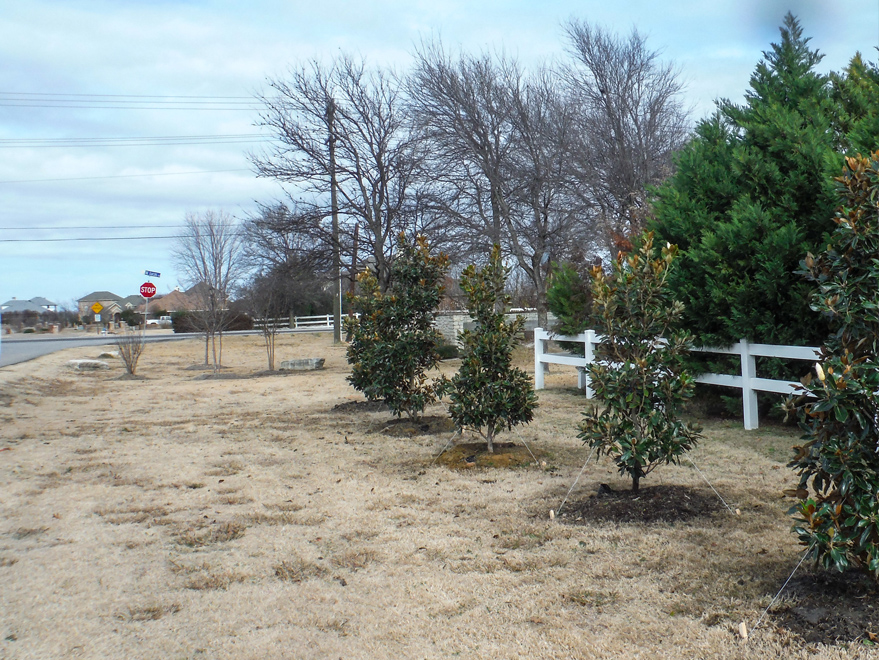 Little Gem Magnolias planted in an HOA area by Treeland Nursery.