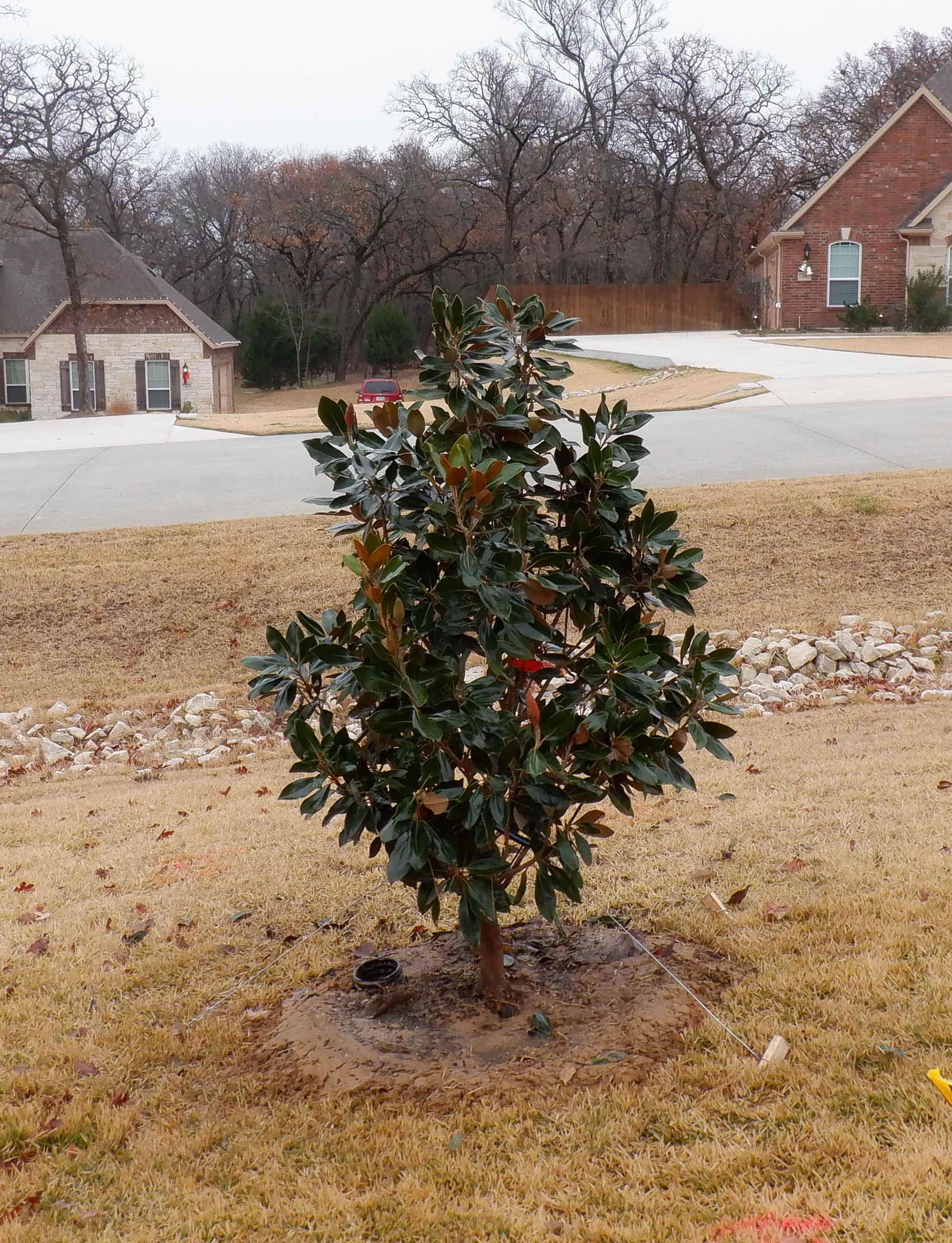 Little Gem Magnolia planted by Treeland Nursery.