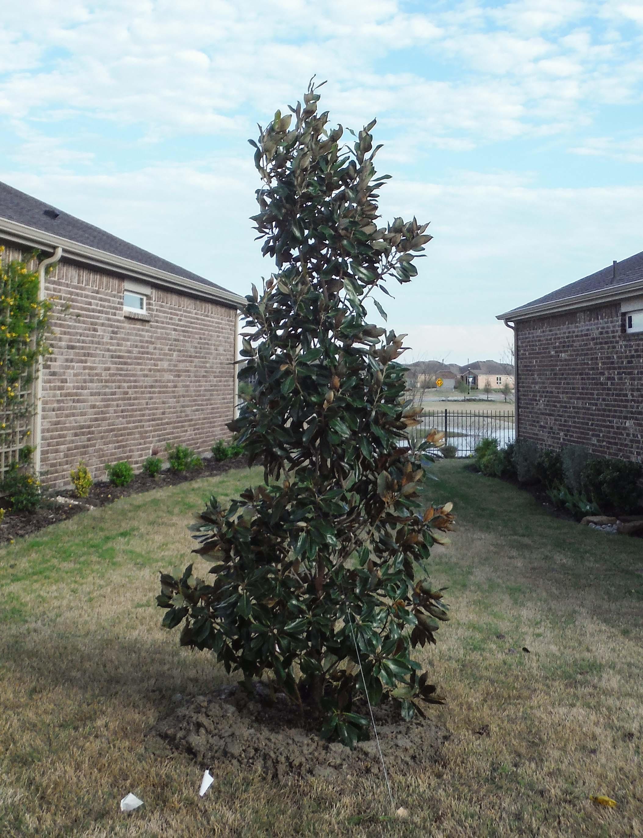 Little Gem Magnolia planted by Treeland Nursery between 2 houses.
