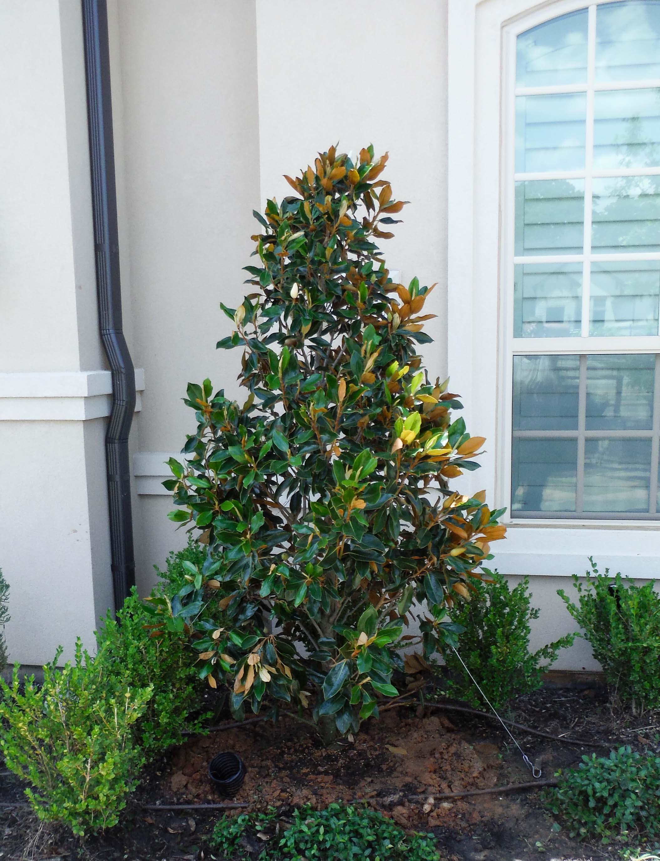Little Gem Magnolias planted by Treeland Nursery in a flowerbed.