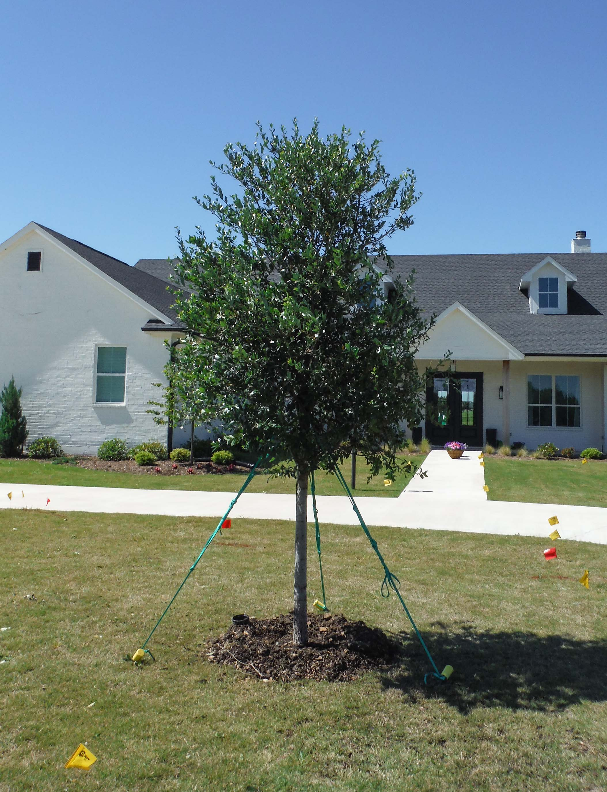 Live Oak tree installed by Treeland Nursery in North Texas.