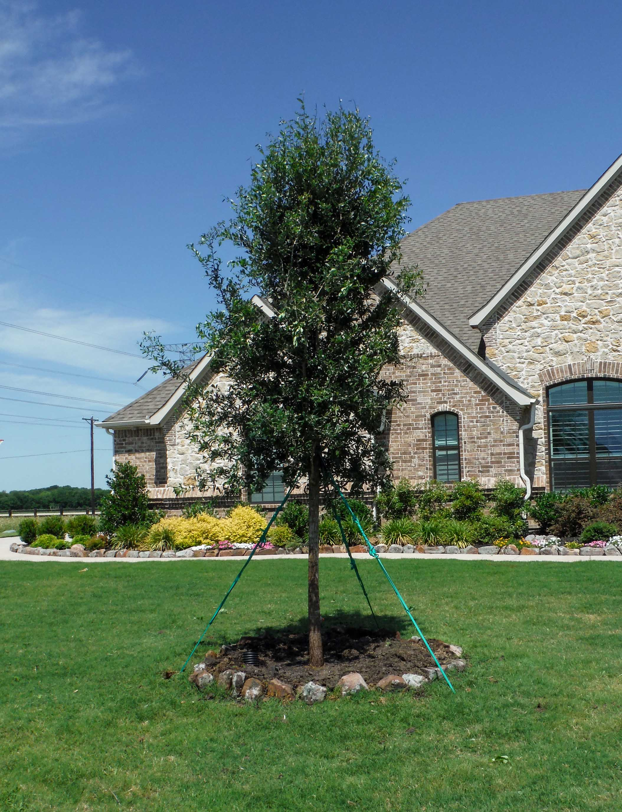 Live Oak tree installed by Treeland Nursery in a frontyard.