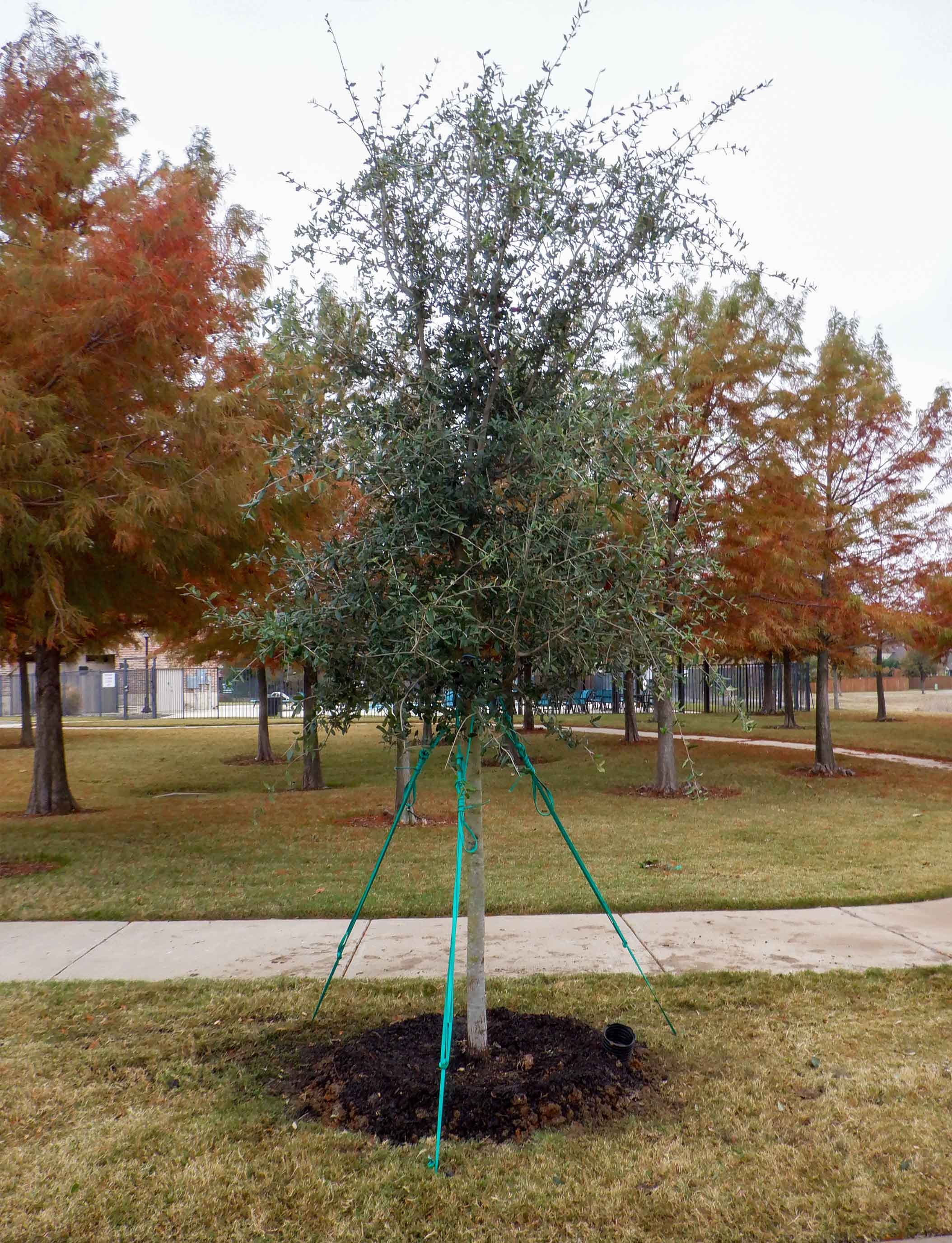 Live Oak tree installed in the Fall by Treeland Nursery.