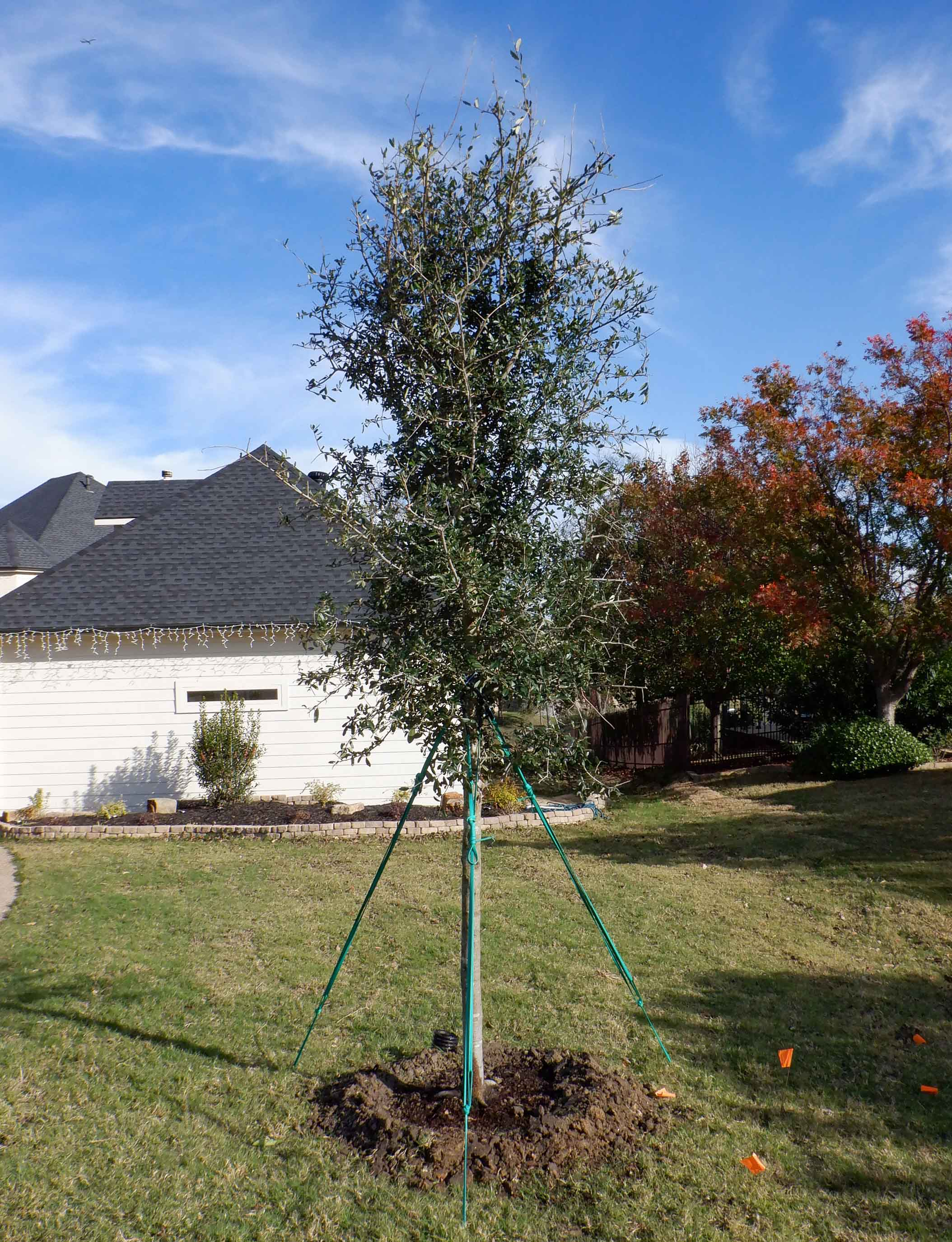 Live Oak tree installed by Treeland Nursery.