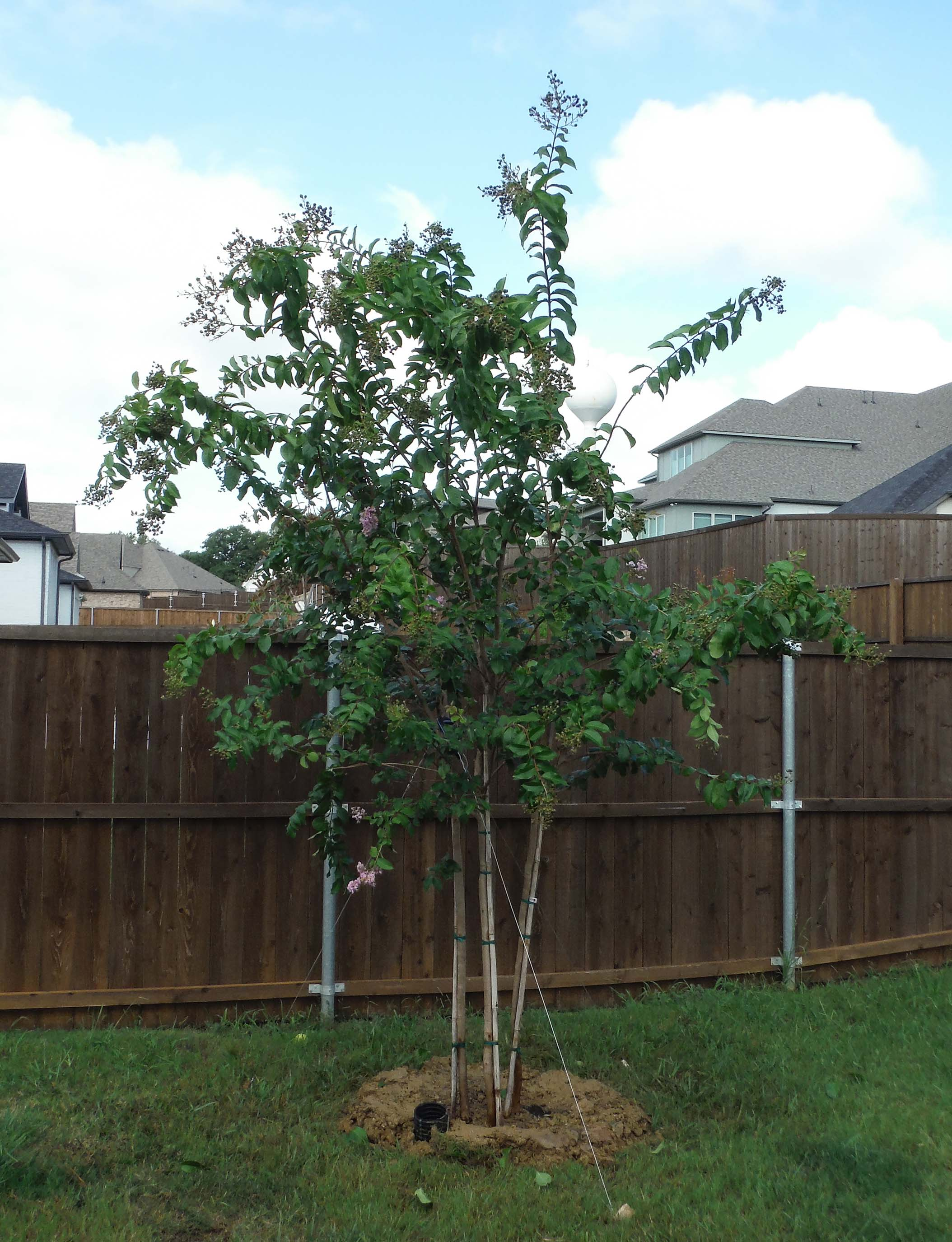 Muskogee Crape Myrtle installed in a backyard by Treeland Nursery.