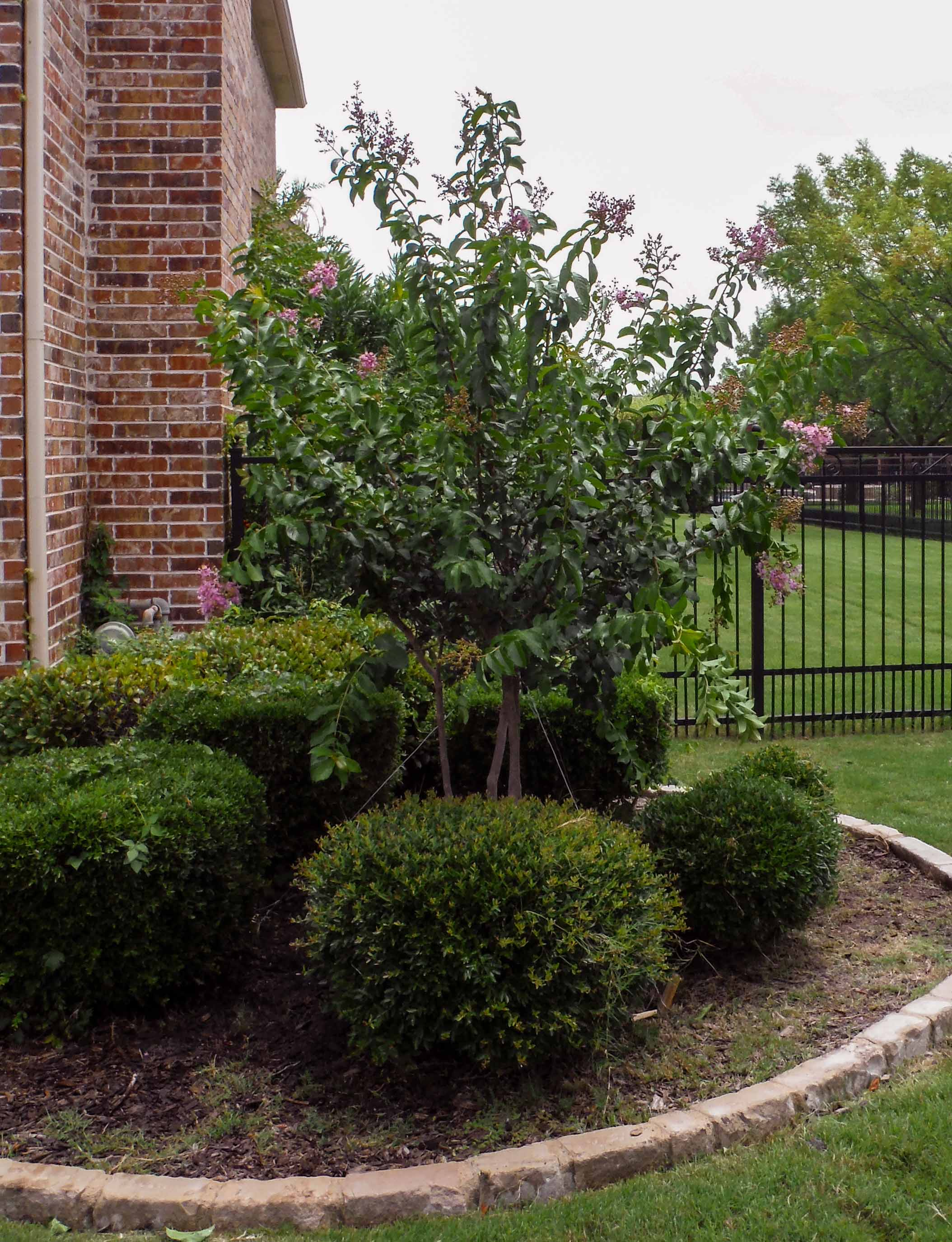 Muskogee Crape Myrtle installed in a frontyard flower bed by Treeland Nursery.
