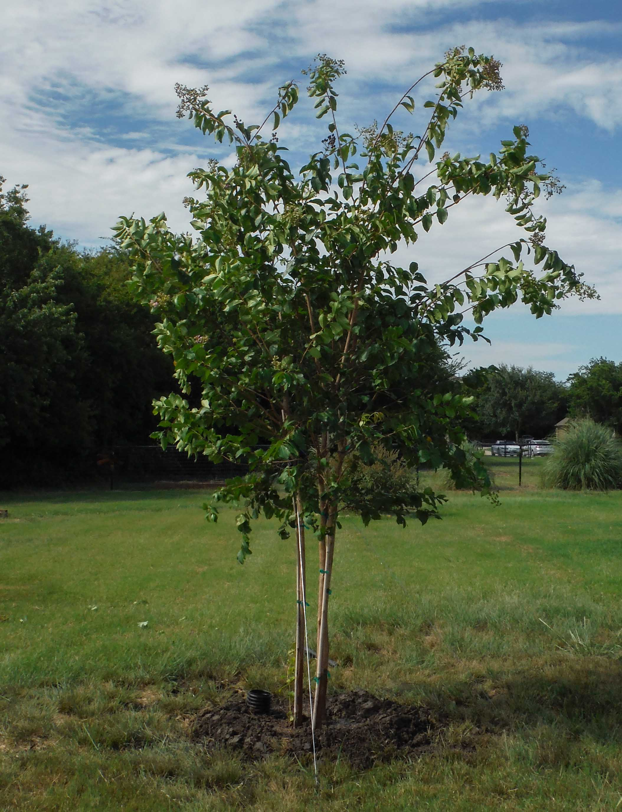 Muskogee Crape Myrtle installed by Treeland Nursery.