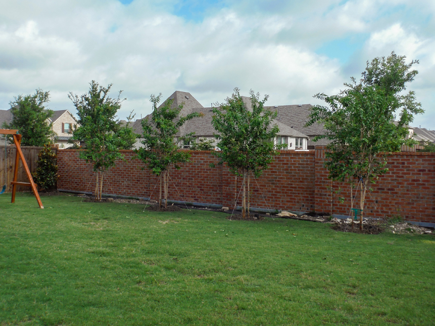 Muskogee Crape Myrtles installed in a backyard by Treeland Nursery.