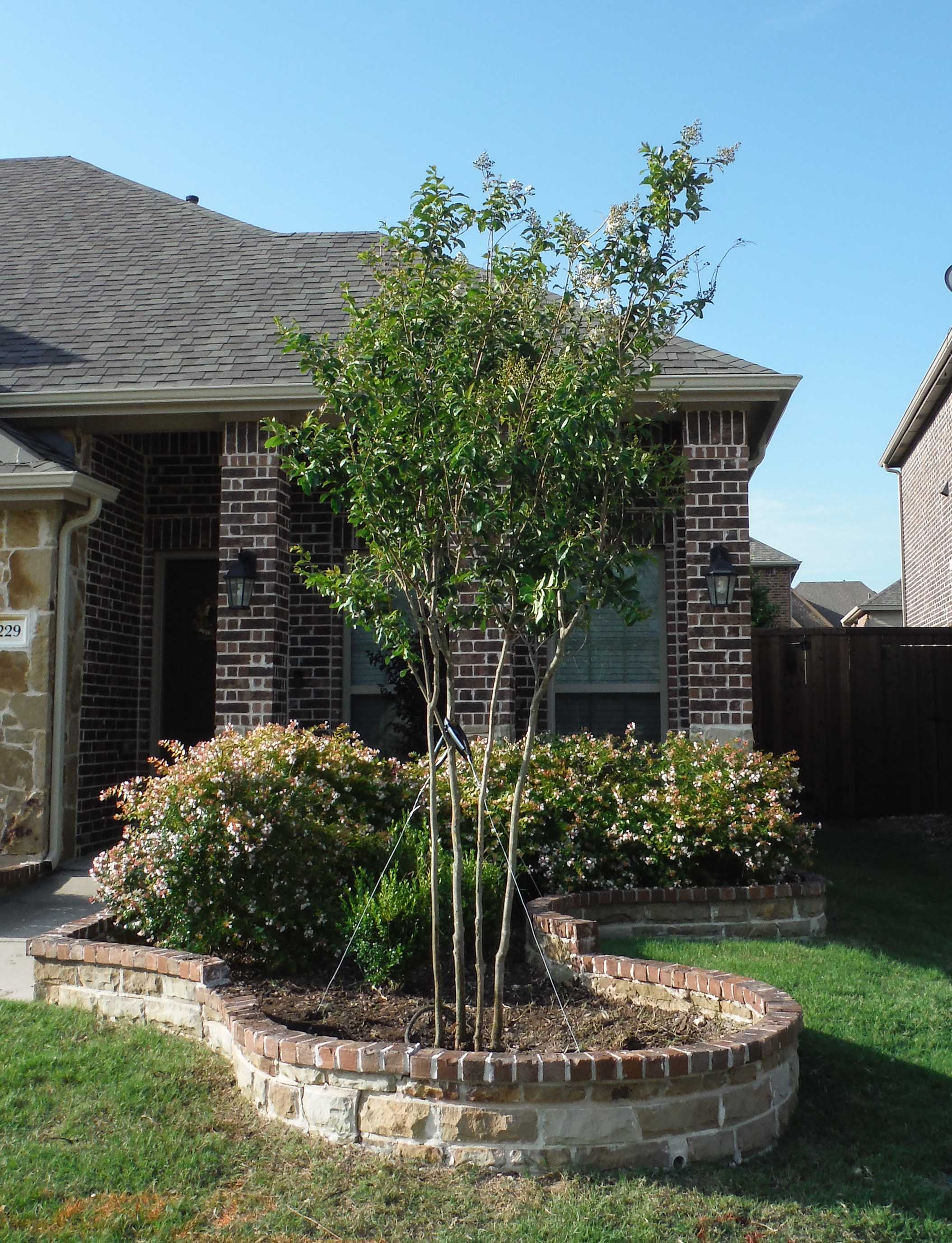 Natchez Crape Myrtle installed in a flowerbed by Treeland Nursery.