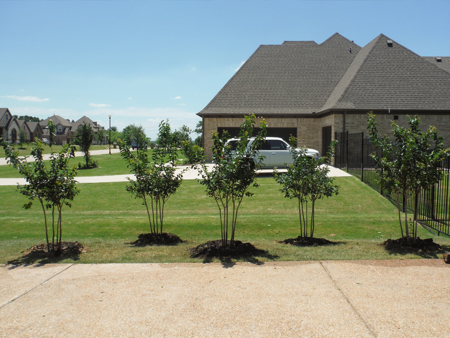 Natchez Crape Myrtles installed along a driveway by Treeland Nursery.