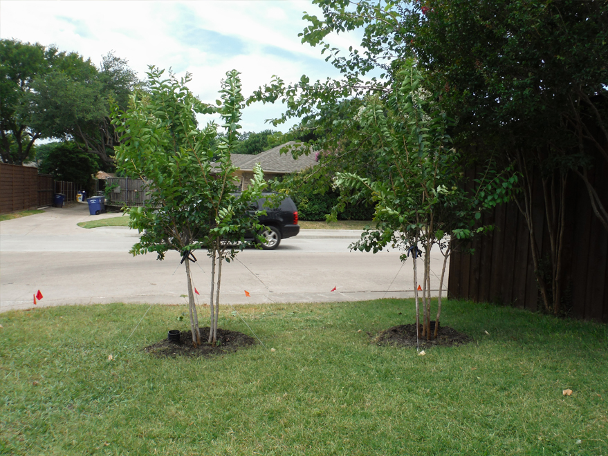 Natchez Crape Myrtles installed by Treeland Nursery.