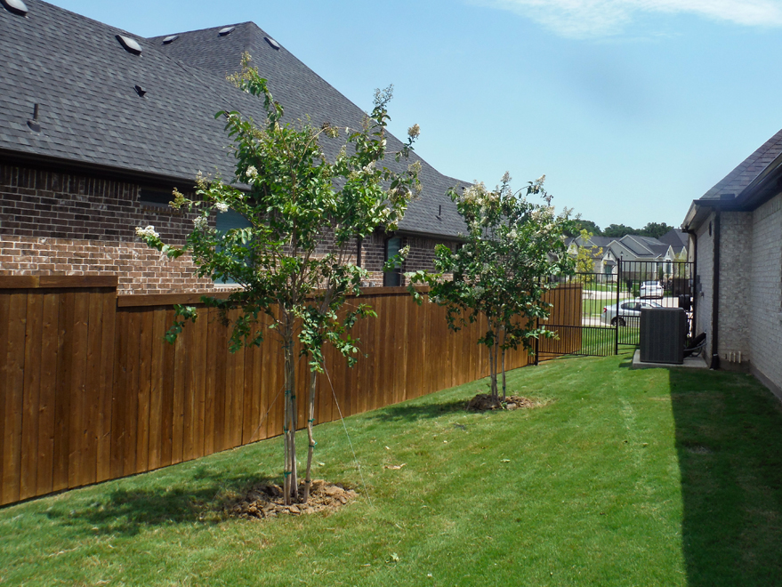 Row of Natchez Crape Myrtles installed in a backyard by Treeland Nursery.
