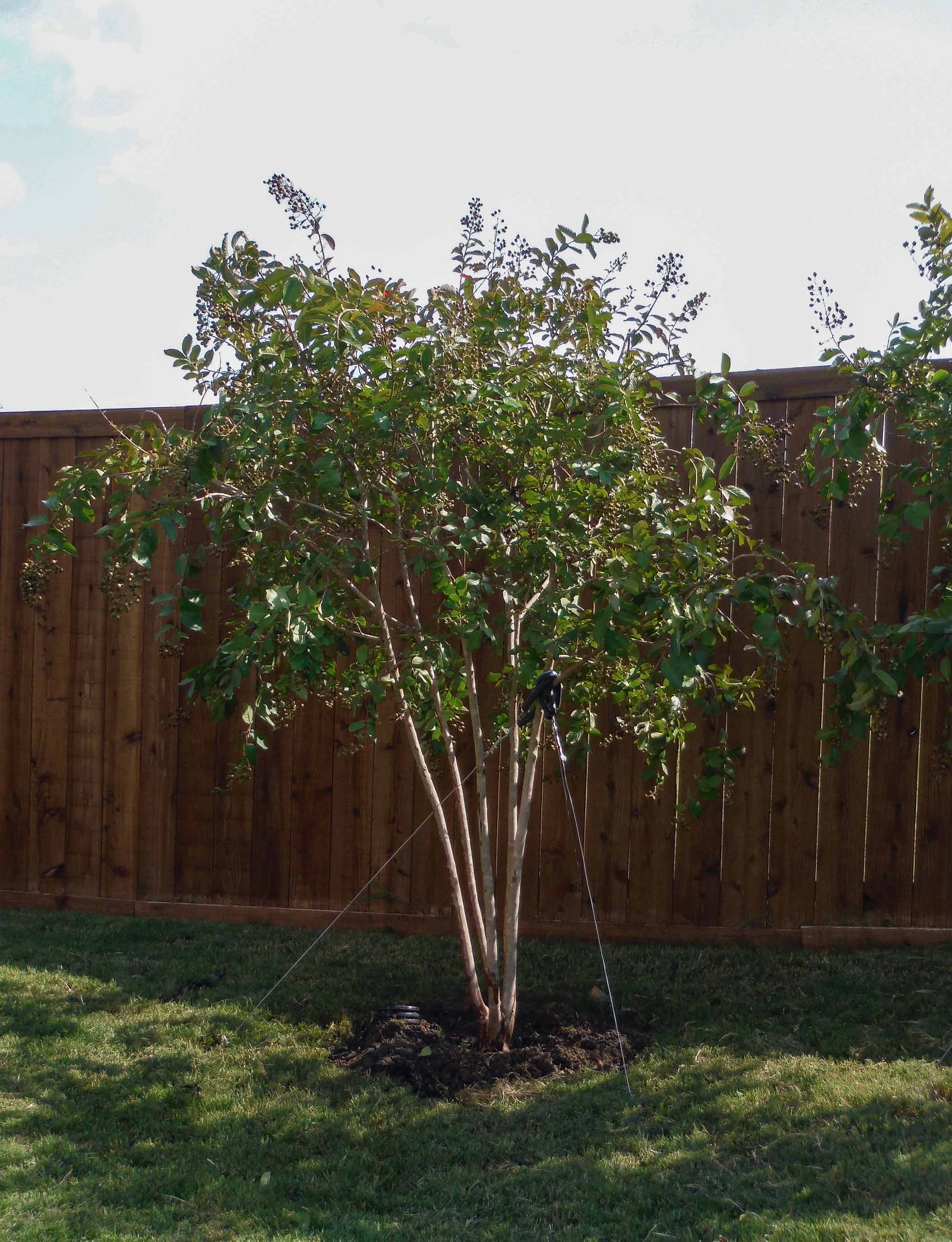 Natchez Crape Myrtles installed in a backyard by Treeland Nursery.