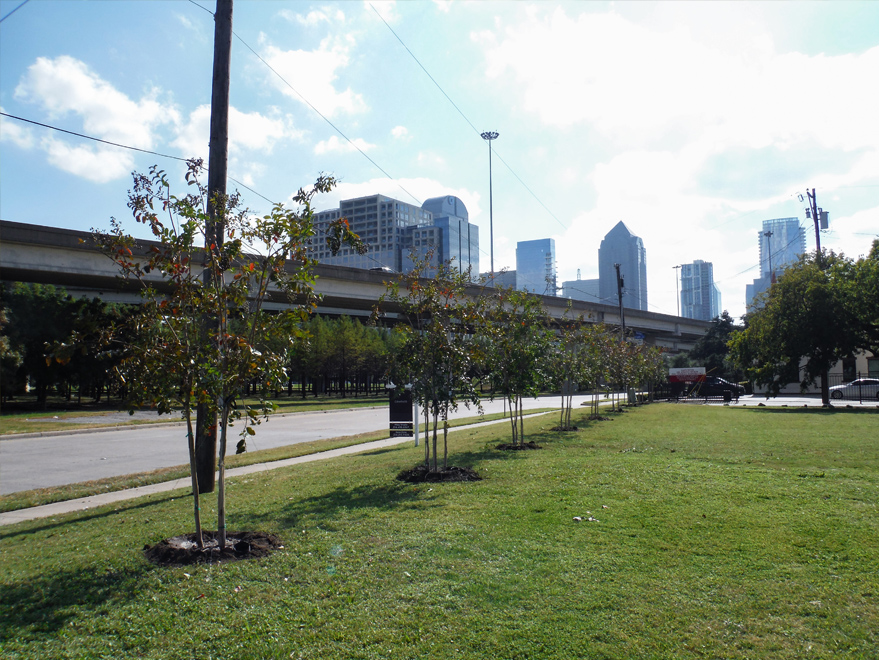 Natchez Crape Myrtles installed in Dallas, TX by Treeland Nursery.