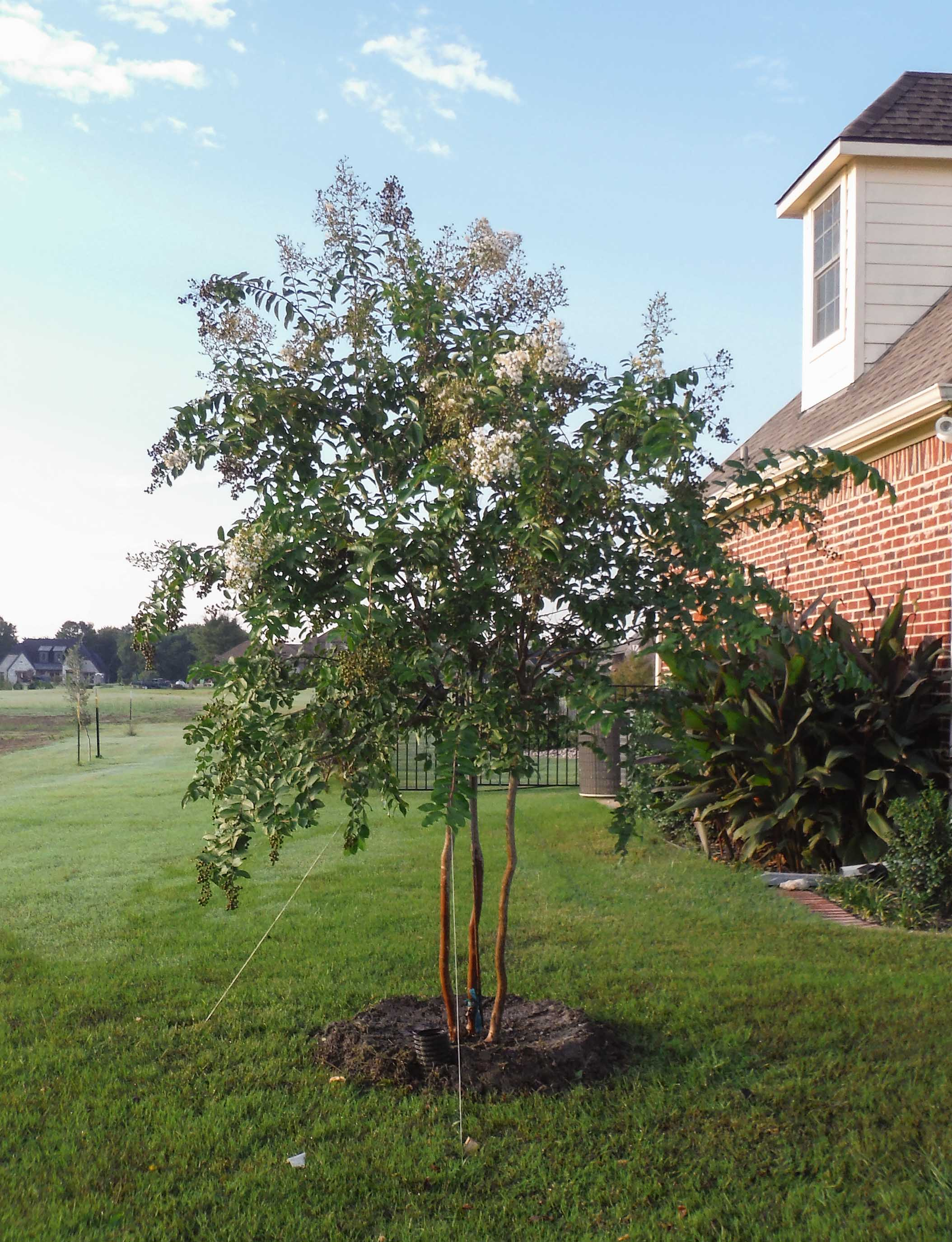 Natchez Crape Myrtle installed by Treeland Nursery.