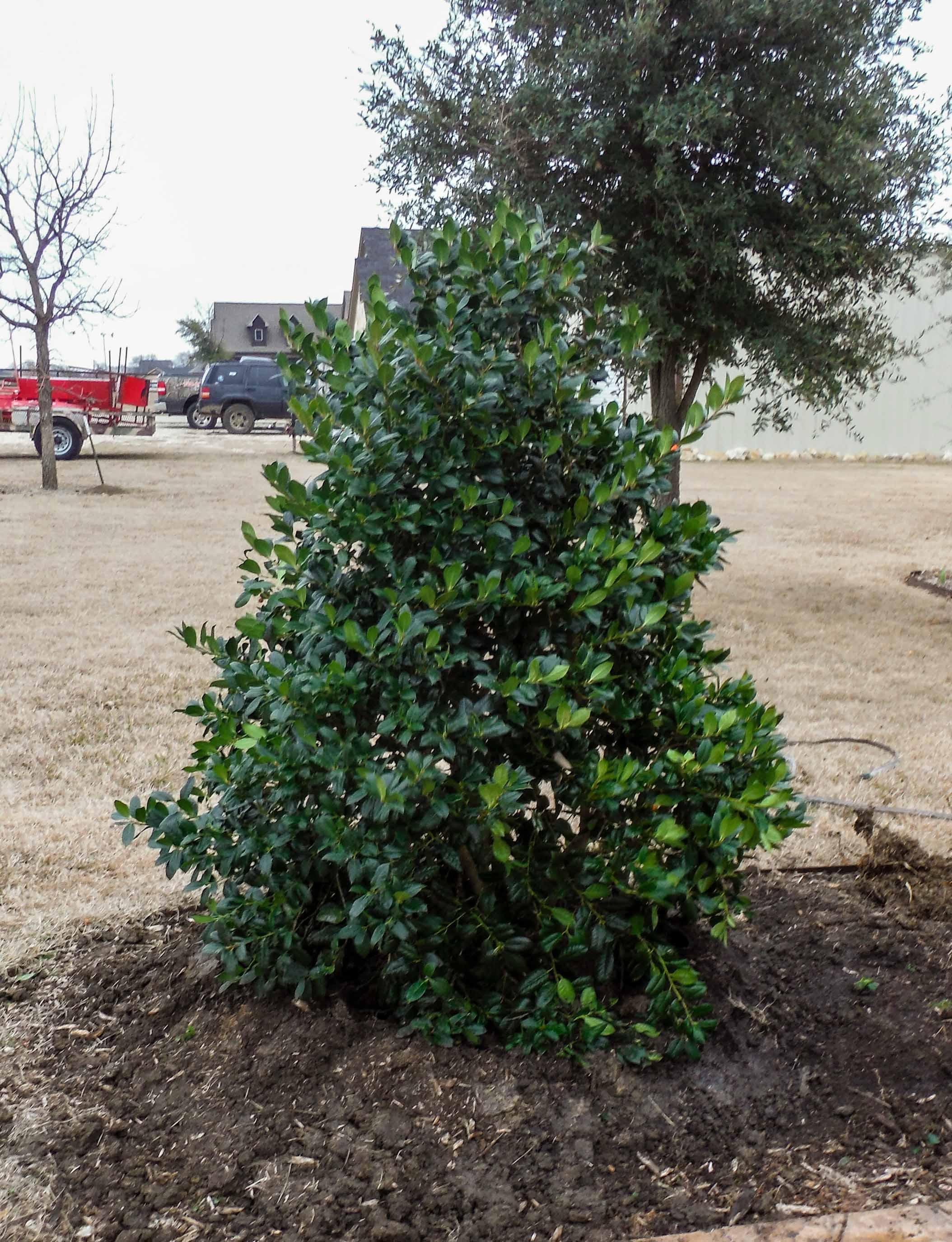 Nellie R Stevens Holly installed by Treeland Nursery.