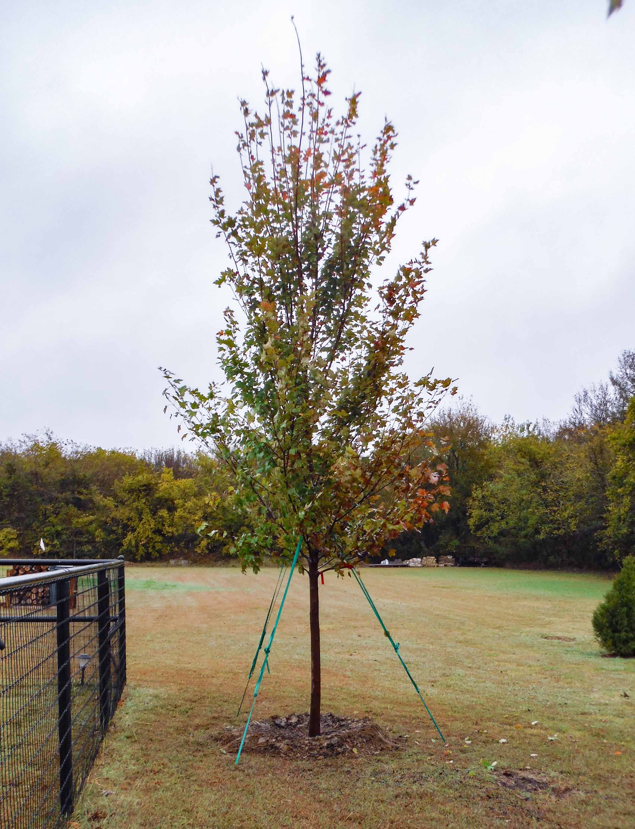 October Glory Maple installed during the Fall by Treeland Nursery.