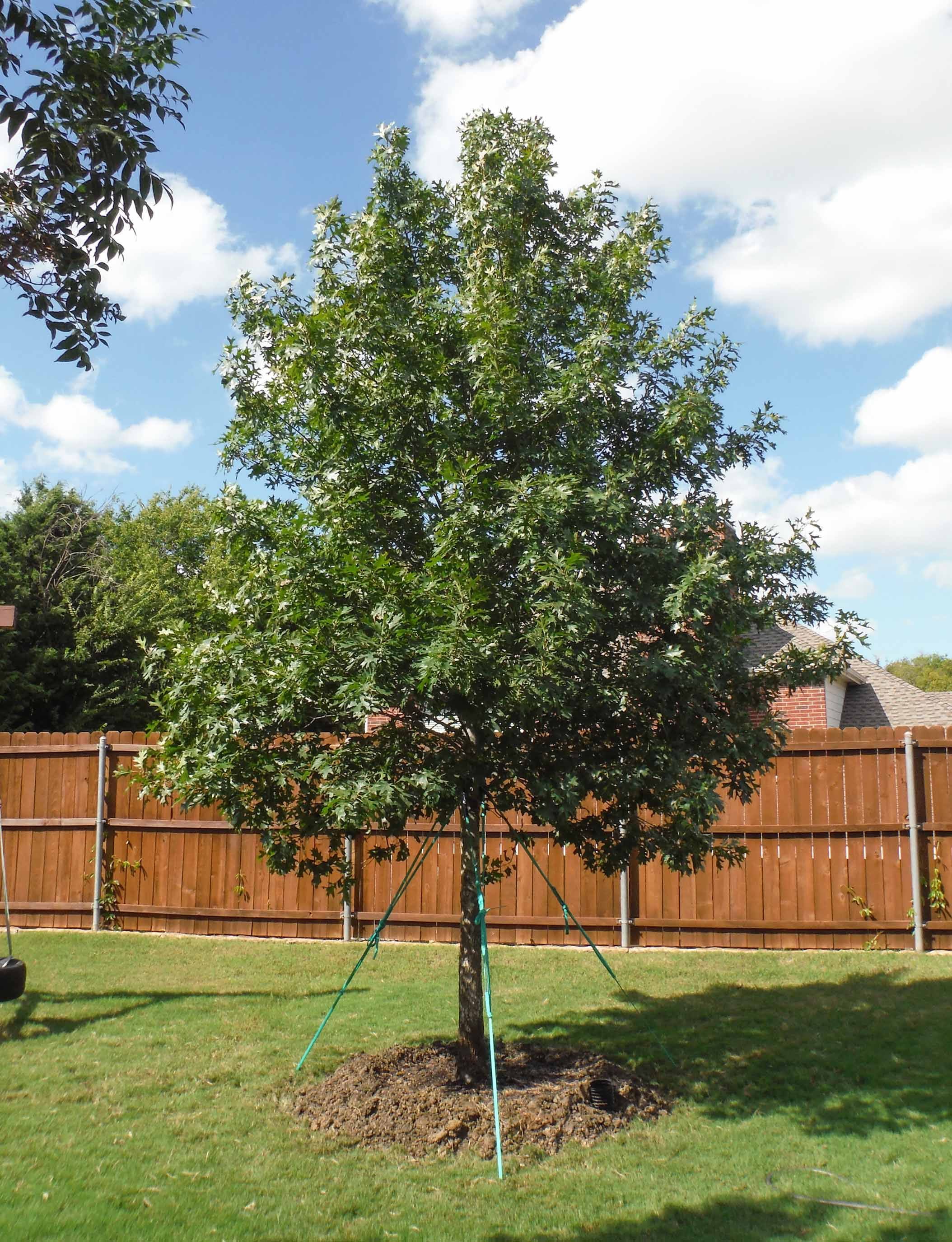 Red Oak installed by Treeland Nursery.