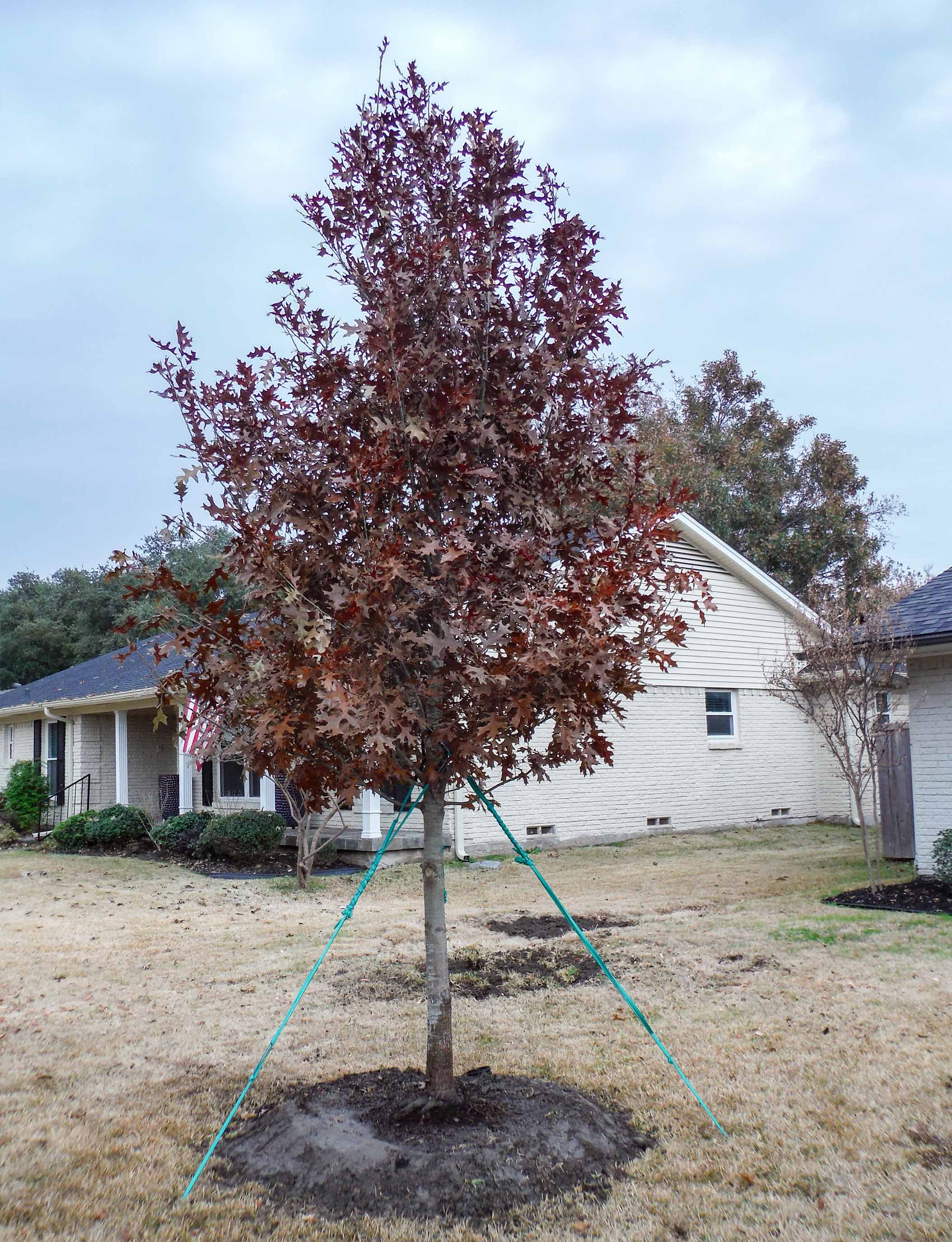 Red Oak installed by Treeland Nursery in the Fall.