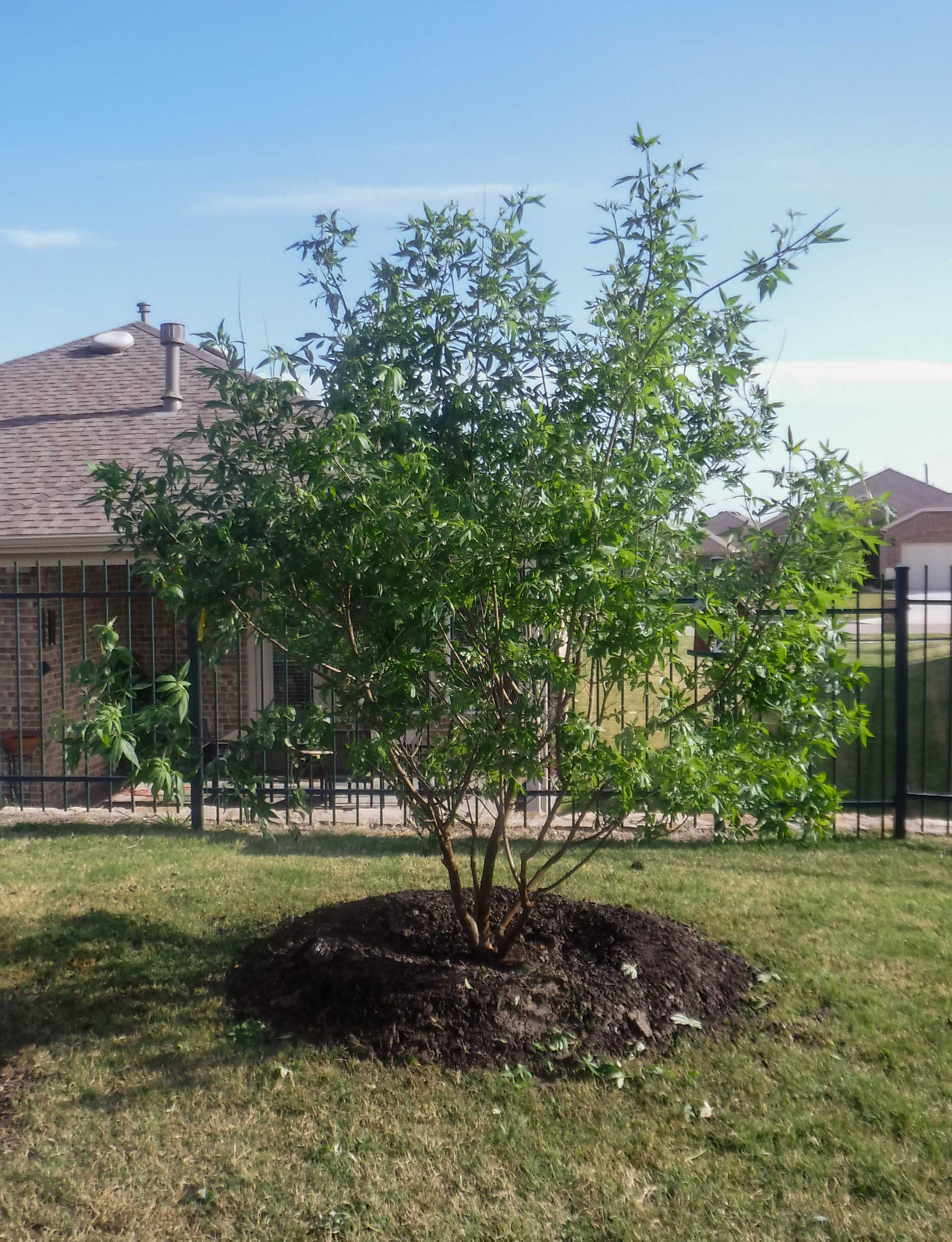 Multi trunk Vitex installed in a backyard.