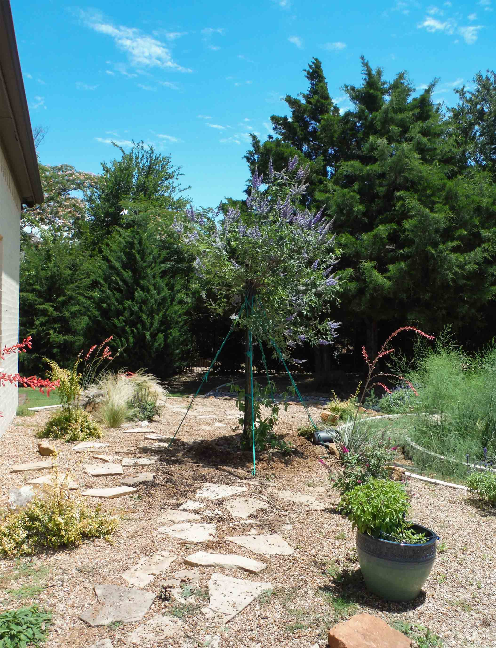 Single trunk Vitex installed in a backyard garden.