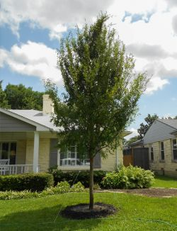 Allee Elm Tree planted in a North Texas frontyard. Installed and planted by Treeland Nursery.