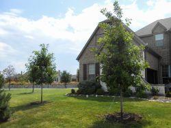 Bur Oak Trees planted by Treeland Nursery in a North Texas frontyard.