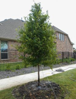 Frontier Elm Tree planted between a road and sidewalk in Frisco, TX. Tree installed and planted by Treeland Nursery.