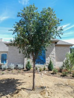 Chinese Pistachio Tree planted in a North Texas frontyard by Treeland Nursery.
