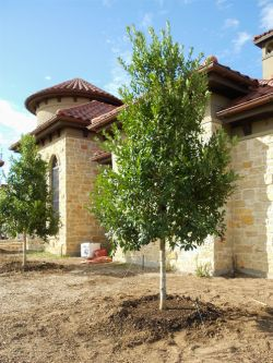 Evergreen Tree Form Eagleston Hollies planted in a flowerbed. Trees planted by Treeland Nursery.