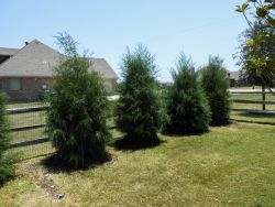 Row of Evergreen Eastern Red Cedars along a fence. Trees planted by Treeland Nursery.