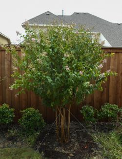 Muskogee Crape Myrtle planted in North Texas along a fence in a flowerbed. Installed and planted by Treeland Nursery.