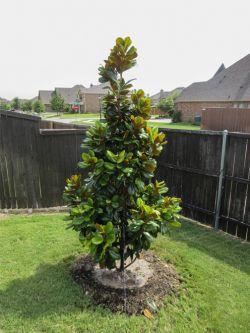 Evergreen Teddy Bear Magnolia planted in a backyard. Trees planted by Treeland Nursery.