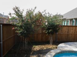 Tuscarora Crape Myrtles planted alongside a pool in a flowerbed. Installed and planted by Treeland Nursery.