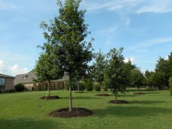 Large Bur Oak and Red Oak trees planted in a backyard by Treeland Nursery.