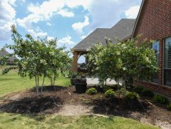 Grouping of four white Natchez Crape Myrtles planted by Treeland Nursery in a backyard.