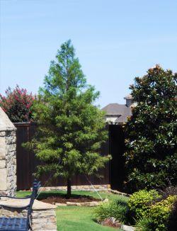 Fast Growing Bald Cypress Tree planted in a backyard by Treeland Nursery.