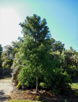 Bald Cypress tree planted by Treeland Nursery at a private gated entrance.