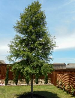 Bald Cypress tree planted in a backyard by Treeland Nursery.